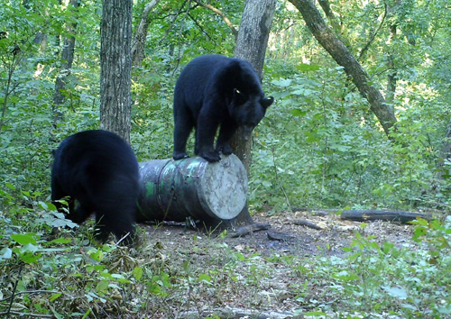 Arkansas Bears Slamming the Bait & Starting to Bait in Oklahoma