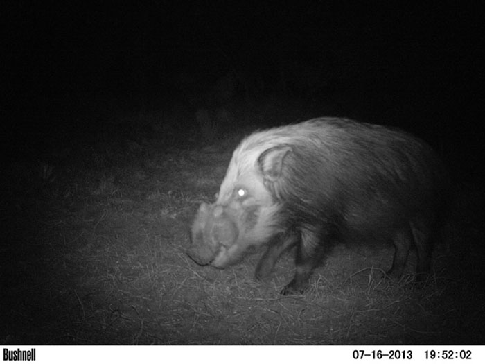 As most frustrated hunters can attest, this is often the closest most will ever get to a trophy sized boar, a trailcam photo.