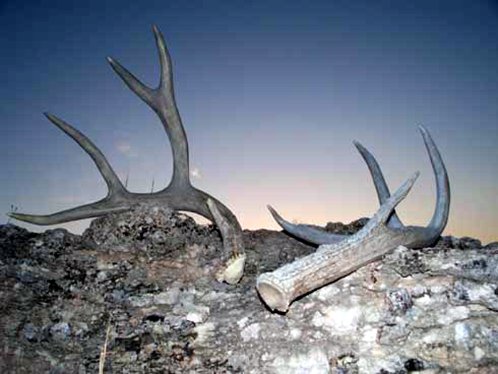 A mule deer shed (left) and a whitetail shed lay on the barren ground of the author's west Texas ranch.