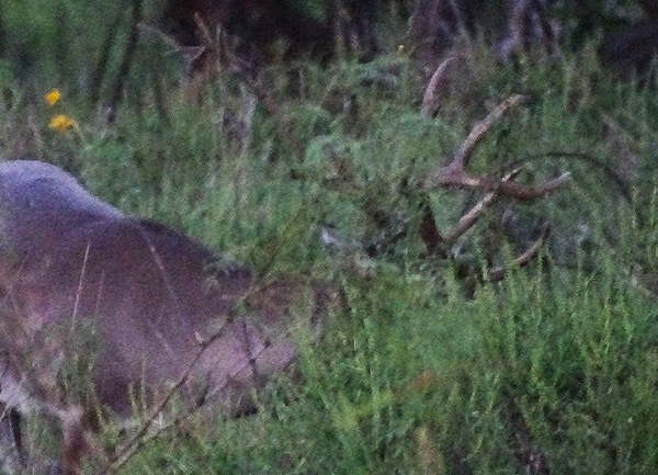 Claw Head Buck; Is It Him? I'm Not Sure!