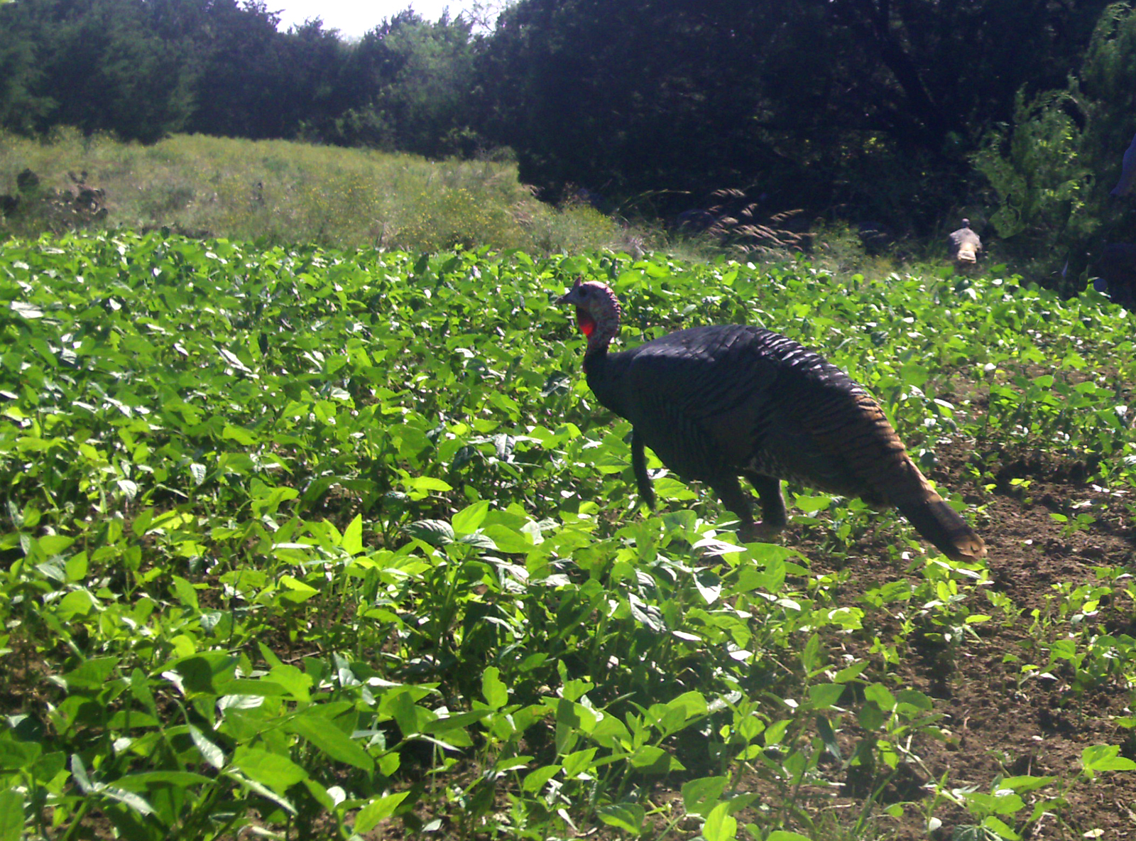 Wild turkey gobbler in food plot.