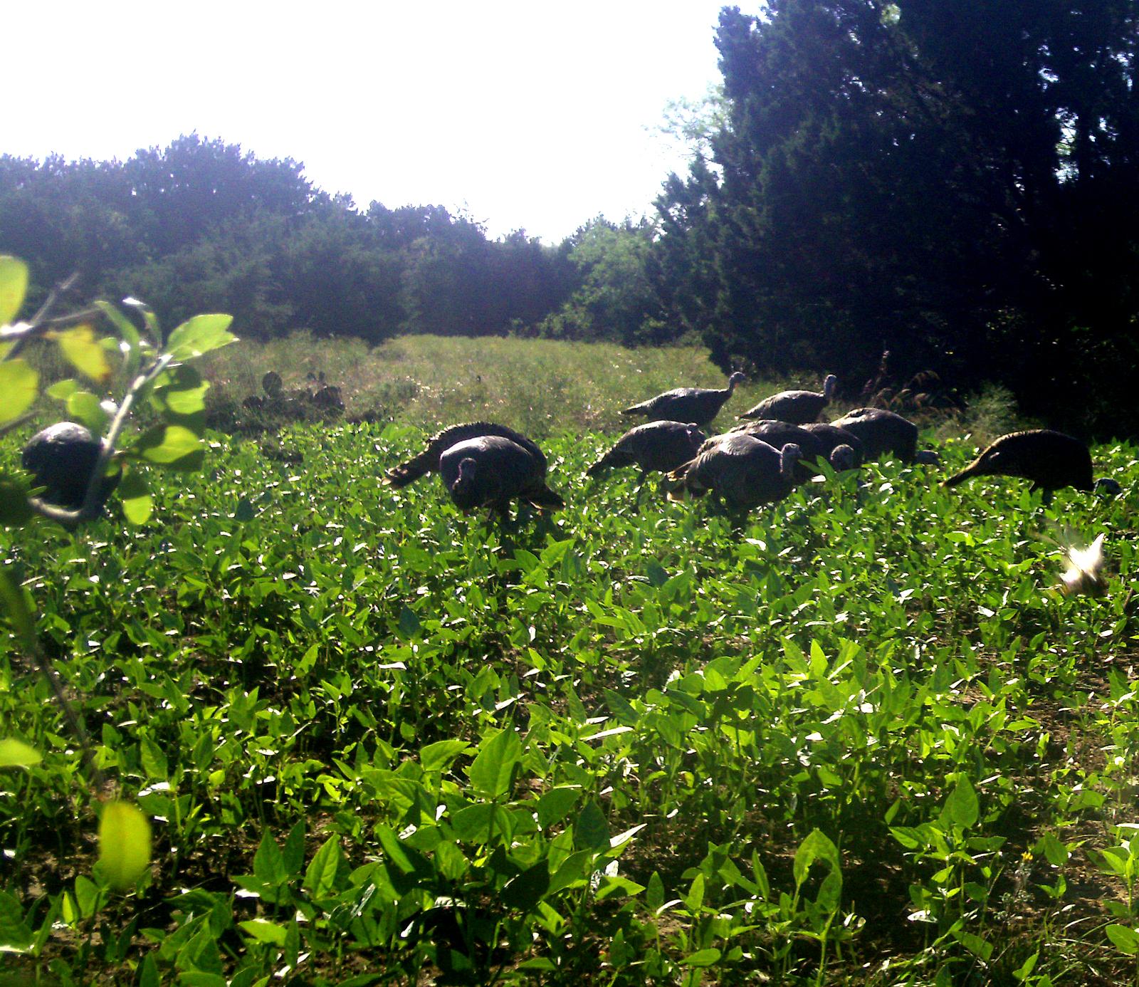 Wild Turkey Hens in a lush food plot.