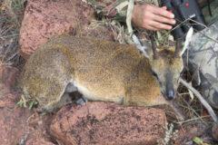 Bowhunt for the African Klipspringer
