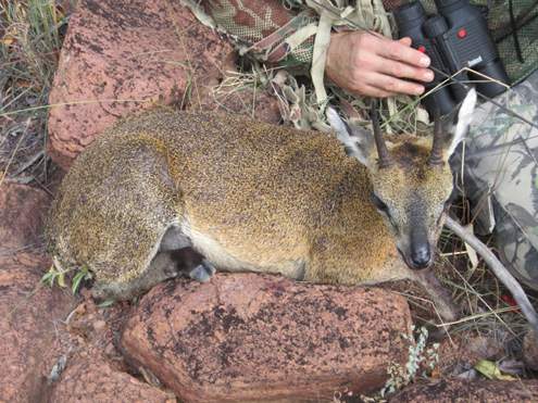 Bowhunt for the African Klipspringer