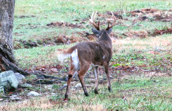 This buck is offering a perfect quartering shot if you know where to shoot.