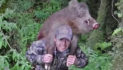 New Zealand Bowhunter: Goats, Chamois and Wild Boars