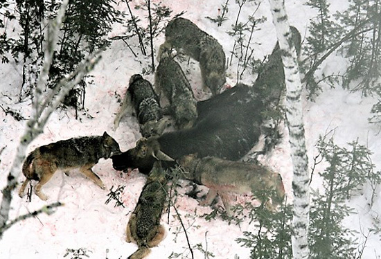 The Damage Wolves Are Inflicting On America: Part 2