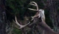 IF A BUCK STILL HAS ANTLERS NOW, IS HE STILL LOOKING FOR DOES?