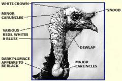 Is It A Hen Or A Gobbler?