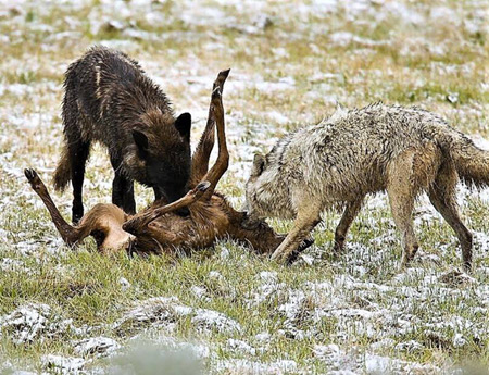The Damage Wolves Are Inflicting On America: Part 4a  Big Wolf Lies: