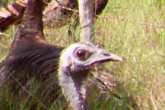 Wild Turkey Vision: The Facts You Need To Know