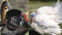 Wild Turkeys Vs Domestic?