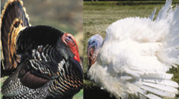 Wild Turkeys Vs Domestic?