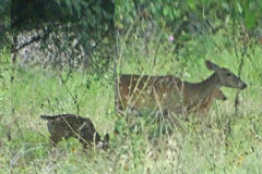 2017 Deer Pictures: First Fawn