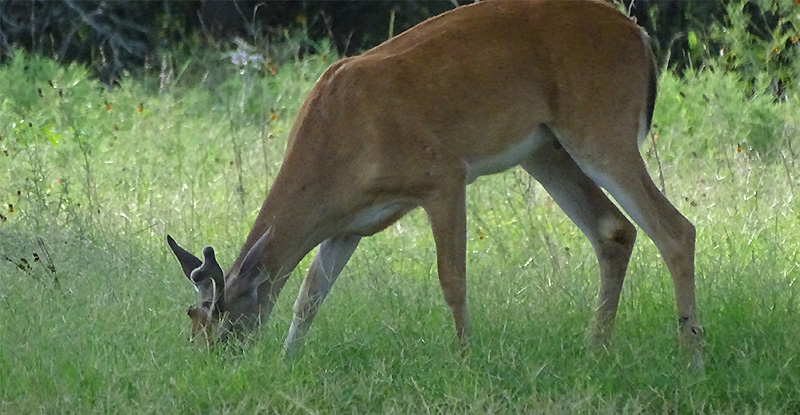 whitetail buck doe fawn deer pictures in July by Robert Hoague