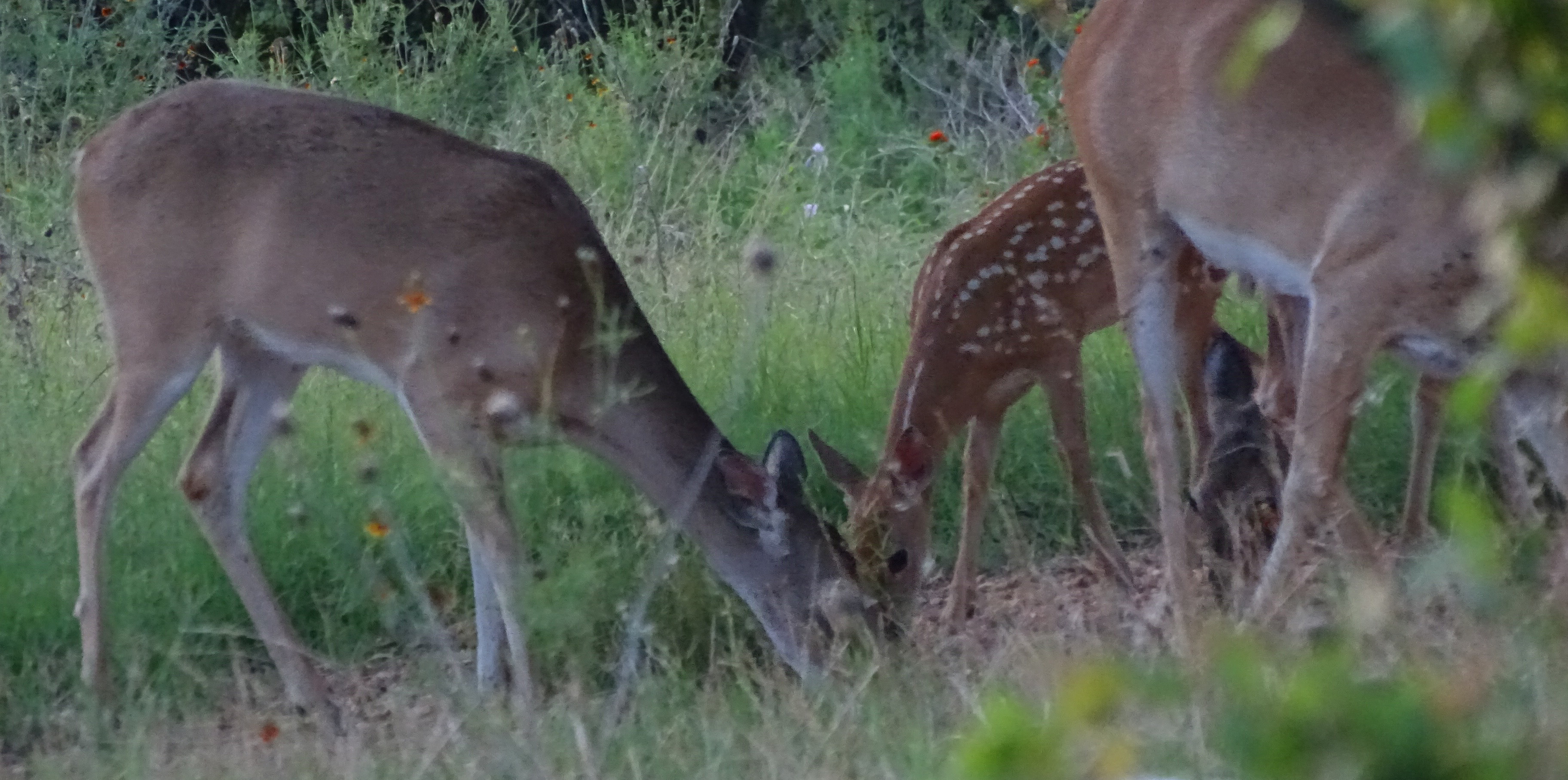 Whitetail deer pictures by Robert Hoague July 2017
