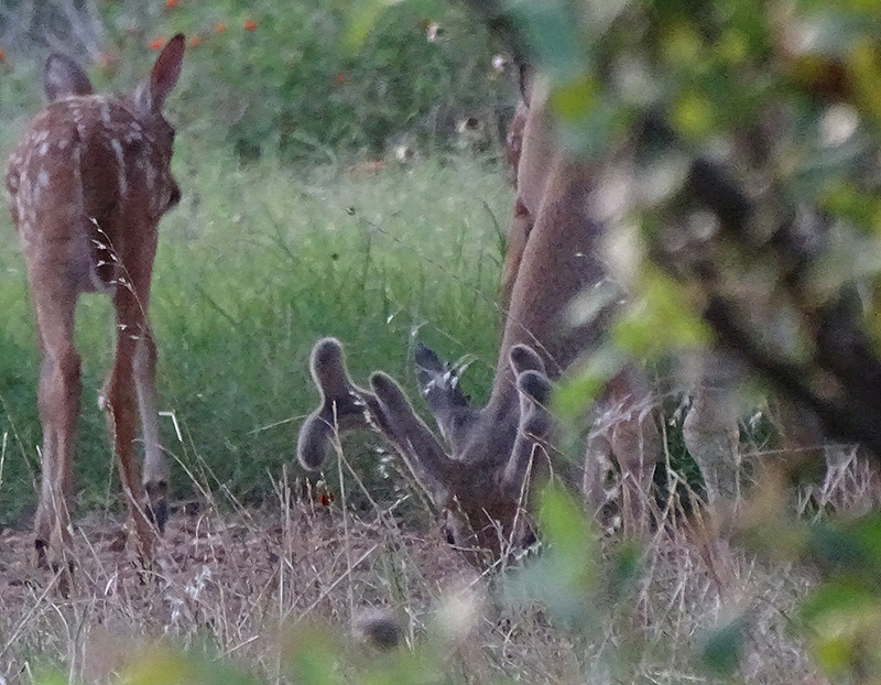 Whitetail Buck and Fawn deer pictures by Robert Hoague July 2017