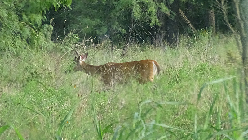 Whitetail spike buck deer pictures by Robert Hoague July 2017