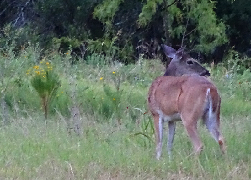 Whitetail Deer Pictures in July