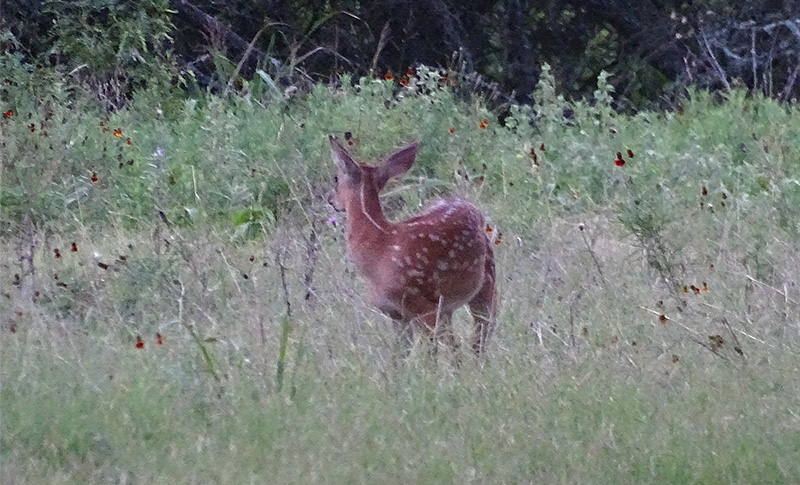 Whitetail Deer Pictures in July by Robert Hoague