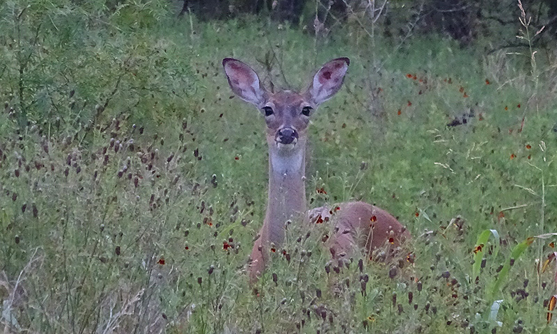 whitetail deer buck doe pictures in July by Robert Hoague