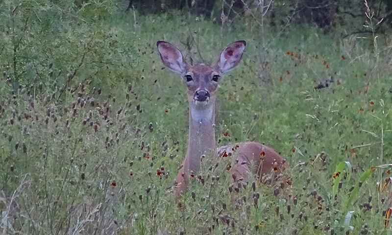 whitetail deer buck doe pictures in July by Robert Hoague