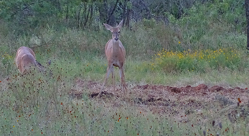 whitetail deer pictures, buck doe fawn in July