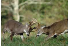 Eastern Shores Sika Deer – Whitetail Deer Combo Hunt