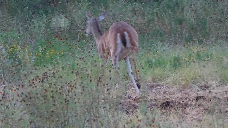 whitetail doe picture in July by robert hoague