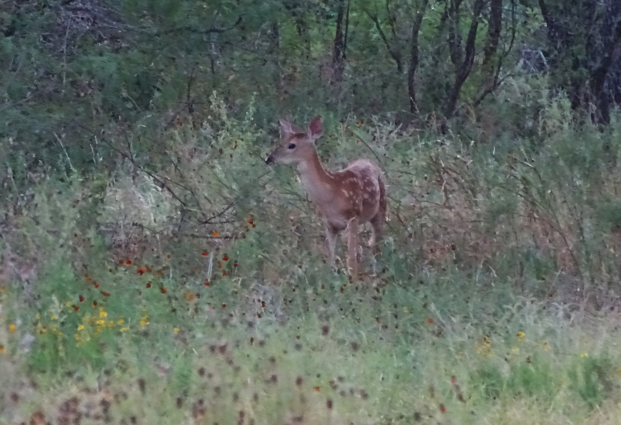 whitetail fawn picture in July by robert hoague