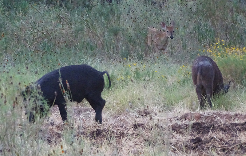 whitetail fawn and wild hogs picture in July by robert hoague