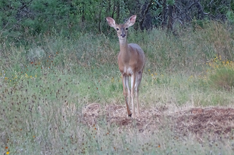 Whitetail doe pictures in July by Robert Hoague
