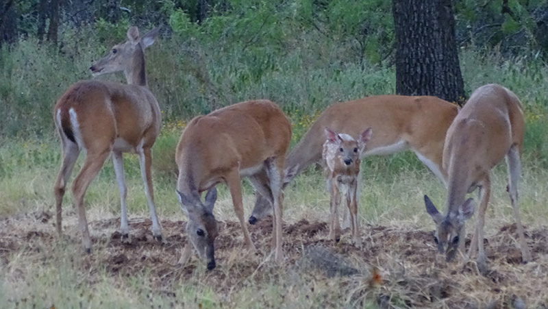 whitetail deer picture by robert hoague