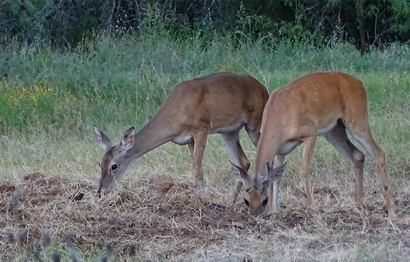 whitetail doe picture by Robert Hoague