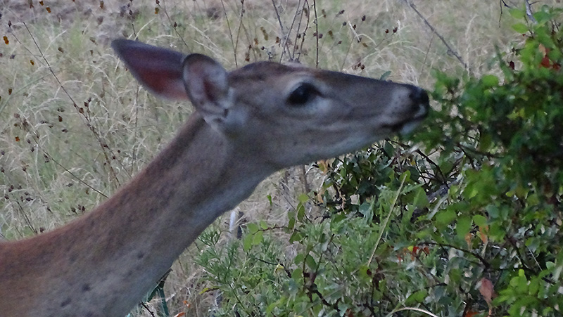 Whitetail doe browsing picture by Robert Hoague.