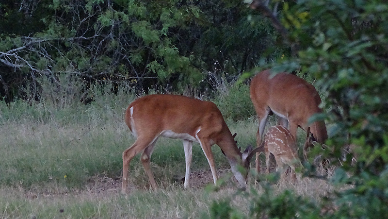Whitetail doe fawn and buck in july by Robert Hoague.