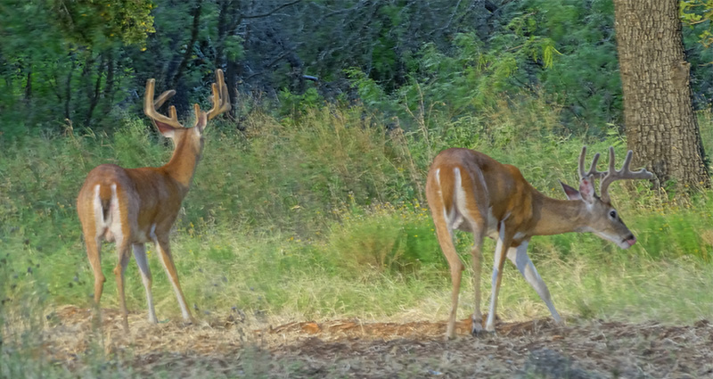whitetail buck and doe pictures in July by Robert Hoague