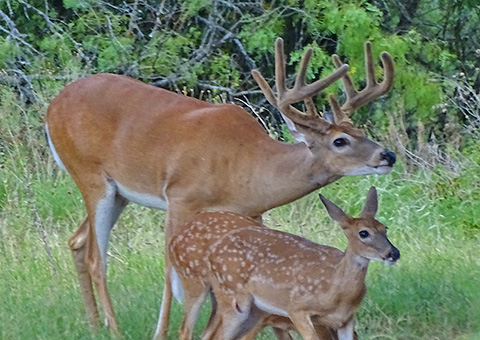 Big Bucks And Fawns In July