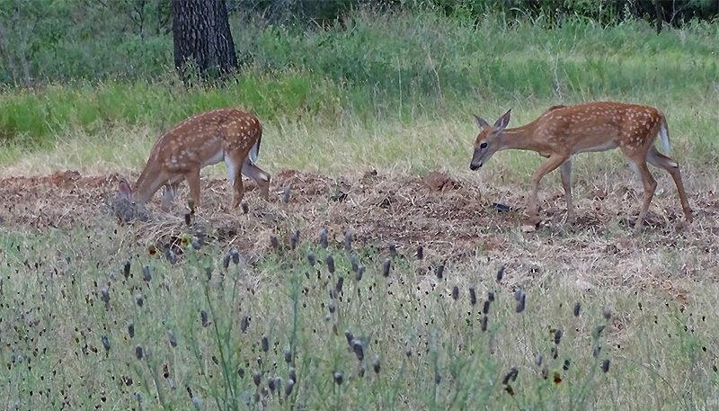 whitetail fawn pictures in July by Robert Hoague