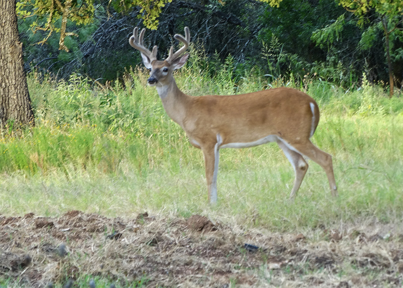 whitetail bucks pictures in july by Robert Hoague