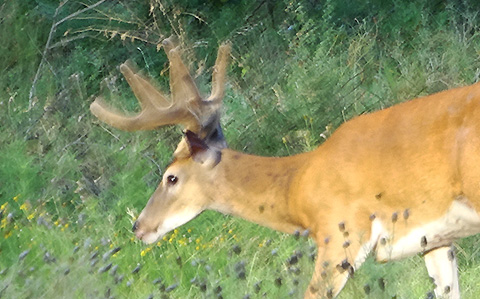 Buck Pictures July 28