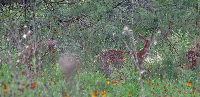 whitetail deer pictures by robert hoague