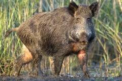 Invasive Feral Hogs Threaten Habitat, Wildlife, Agriculture,Health