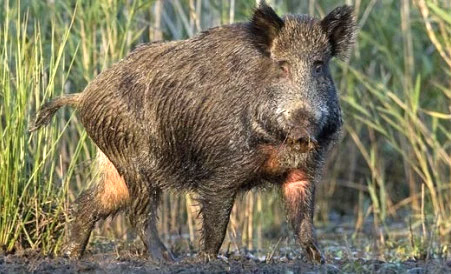 Invasive Feral Hogs Threaten Habitat, Wildlife, Agriculture, Health