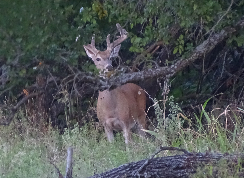 whitetail deer pictures in August by Robert Hoague