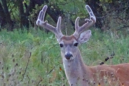 What Do Bucks Do In August?