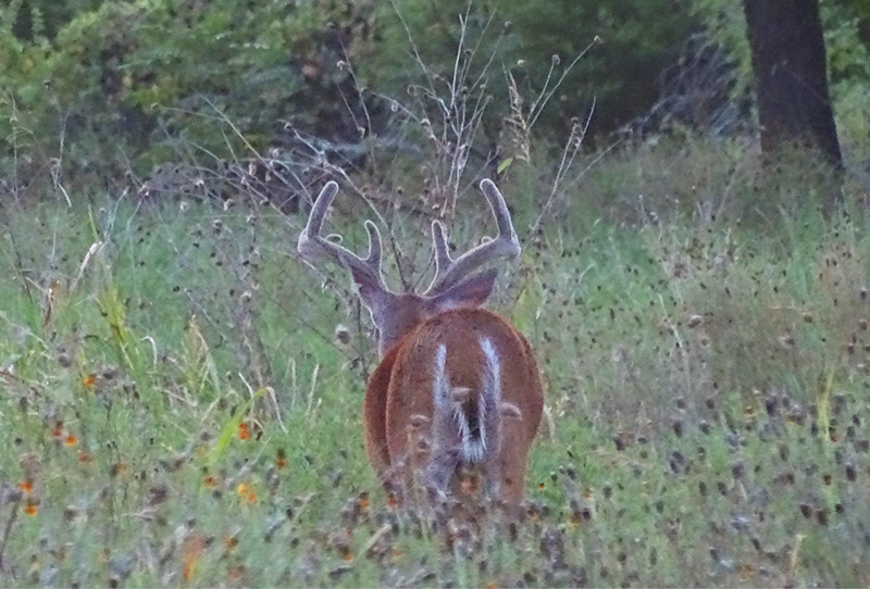 whitetail buck pictures in August by Robert Hoague