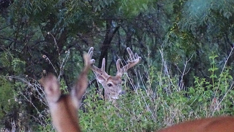 Whitetail buck picture in late July by Robert Hoague