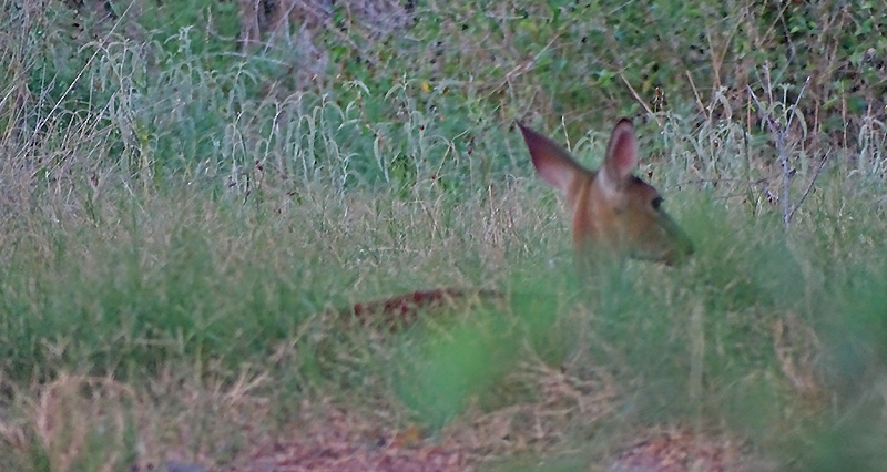 bedded whitetail fawn picture in August by Robert Hoague