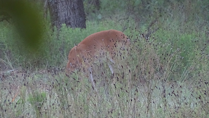 whitetail buck and doe pictures and activity in August by Robert Hoague